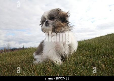 shitsu puppy  sitting on green grass - Stock Photo