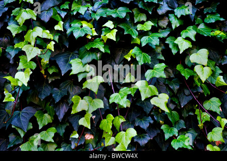 Close up shots of a common ivy - Stock Photo