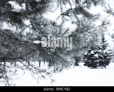 spruce branch in the winter in the snow close - Stock Photo