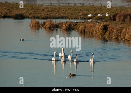Whooper and Mute swans at Welney WWT. - Stock Photo