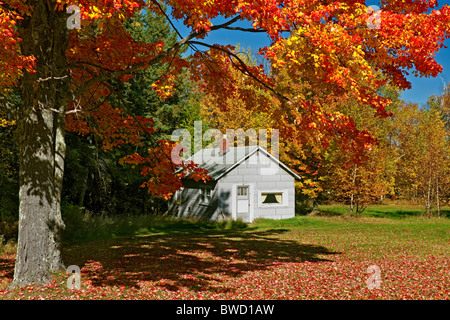 Brilliant sugar maple trees in the Ottawa National Forest in Michigan's Upper Peninsula and Ontonagon County. - Stock Photo