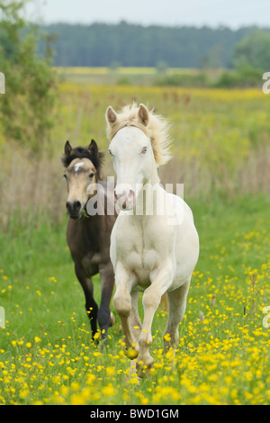 Two Connemara pony yearlings galloping in the paddock - Stock Photo