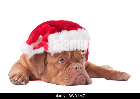 Puppy of dogue de bordeaux with Santa hat - Stock Photo