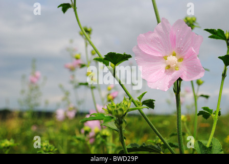Malva moschata (Musk mallow) - Stock Photo