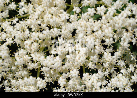 Apiaceae flowers - Stock Photo
