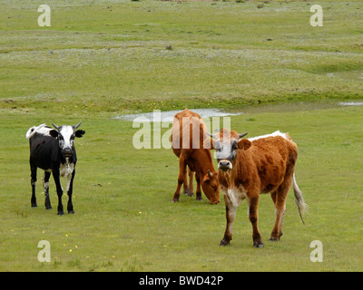 Cattle grazing on green pasture, southern Africa - Stock Photo