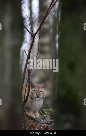 European Lynx in forest - Stock Photo