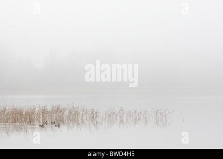 Ducks (mallard) in autumn morning with a thick fog at lake - Stock Photo