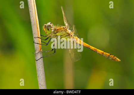 Moustached Darter Sympetrum vulgatum dragonfly resting - Stock Photo