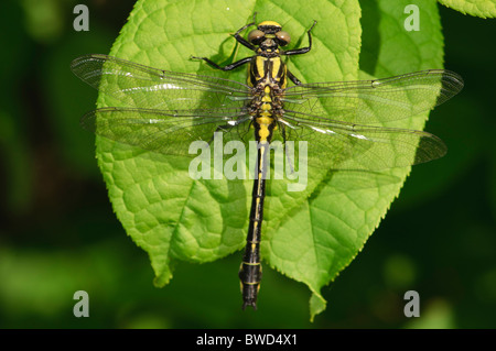 Club-tailed Dragonfly Gomphus vulgatissimus landed on a leaf - Stock Photo