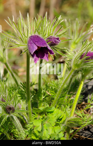 Kuechenschelle - pasque flower 04 - Stock Photo