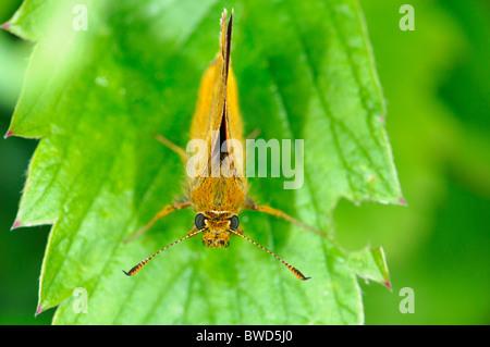 Large Skipper Ochlodes venatus butterfly - Stock Photo