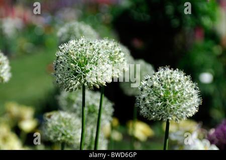 Allium ornamental round flower head star shaped florets globe shape - Stock Photo