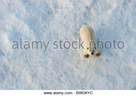 polar bear on ice in hinlopen stretet spitsbergen - Stock Photo