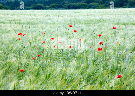 Wind blown poppies in a field of barley at Snowshill in Gloucestershire - Stock Photo