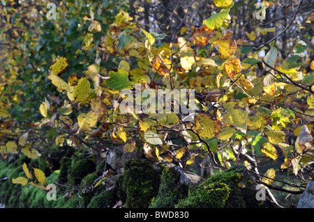 small leaved lime tree leaves changing colour in Autumn moving gently in the wind england,uk - Stock Photo