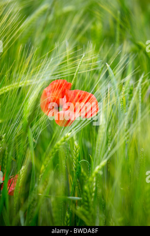 Poppy in a field of barley at Snowshill in Gloucestershire - Stock Photo