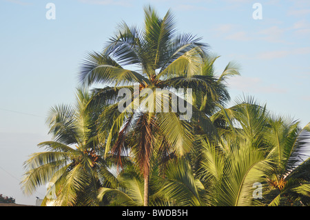 Coconut Trees on a bright day - Stock Photo