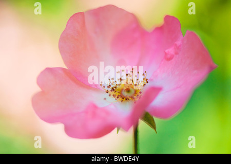A single pink Rose Flowerhead - Stock Photo