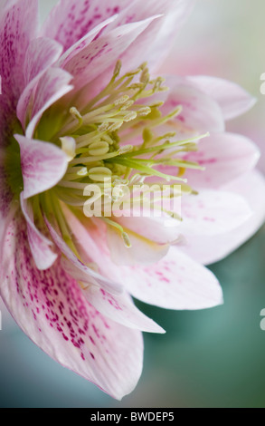 A single pink Hellebore Flower head - Helleborus orientalis - Stock Photo