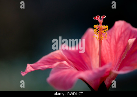 A close-up image of single pink Hibiscus Flower - rosa-sinensis - Stock Photo