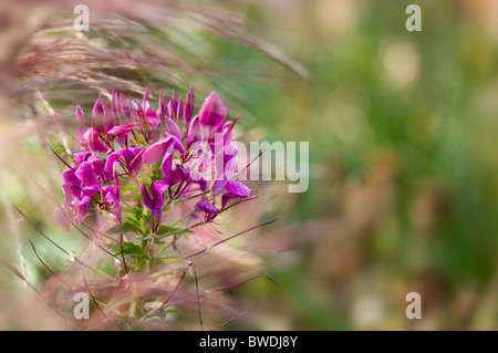 A single spider flower - Cleome spinosa 'Violet Queen' - Stock Photo