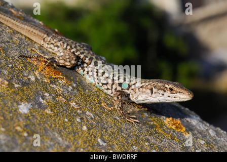 Italian wall lizard or Ruin lizard Podarcis sicula, Lacertidae, Capraia Island, Tuscany, Italy - Stock Photo
