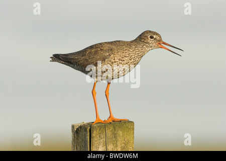 Redshank Tringa totanus on fence post North Uist Outer Hebrides Western Isles Scotland UK - Stock Photo