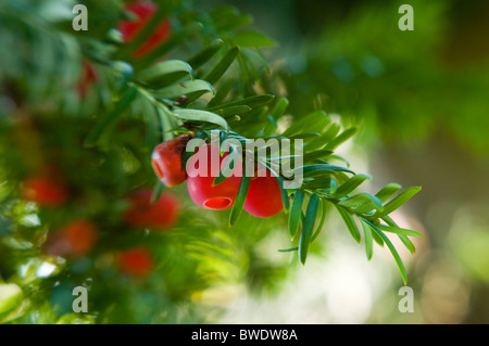 The bright red winter berries of Taxus baccata - Yew tree - Stock Photo