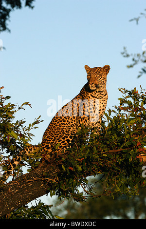 AFRICAN LEOPARD Panthera pardus Sitting in a tree Okavango Delta - Stock Photo