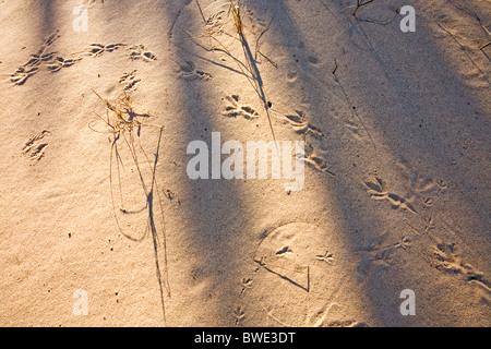 Bird footprints in sand - Stock Photo