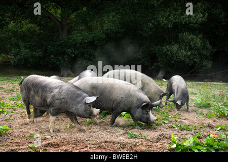 Free-range Berkshire pigs foraging in a field and wood at Hurst Green Sussex UK - Stock Photo
