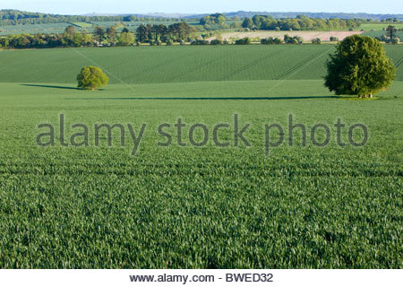 Young wheat crop growing in green farm field - Stock Photo