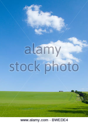 Young barley crop growing in green farm field under blue sky - Stock Photo
