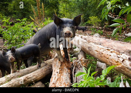 Free range foraging Berkshire pigs and piglets clamber over logs in woodland at Coopers Farm East Sussex UK - Stock Photo