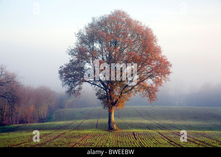 Oak tree in golden autumn coloured leaf on misty morning in newly sewn wheat field in the Weald of Kent UK - Stock Photo