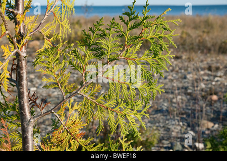 Northern White Cedar leaves Thuja occidentalis Lake Huron shoreline USA Northern Michigan USA - Stock Photo
