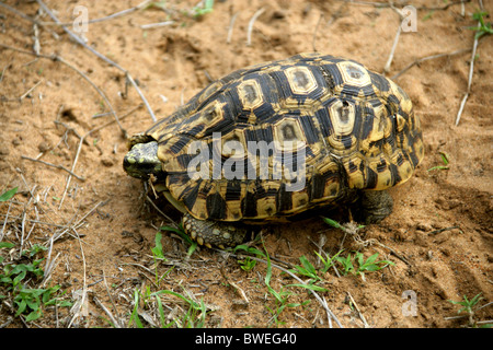 Wild Leopard Tortoise, Stigmochelys pardalis (Geochelone pardalis), Testudinidae, Hluhluwe, South Africa - Stock Photo