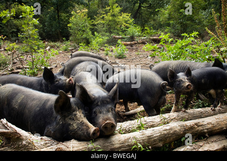 Free range Berkshire pigs and piglets foraging in woodland at Coopers Farm, Stonegate East Sussex UK - Stock Photo