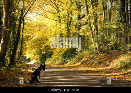 Border collie sits beside quiet country lane covered in autumn leaves beneath a canopy of glowing golden hornbeam - Stock Photo