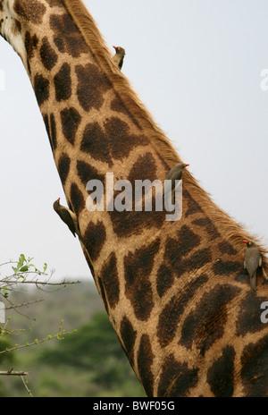 Red-billed Oxpecker, Buphagus erythrorhynchus, Buphagidae. Four Birds on a South African Giraffe. - Stock Photo