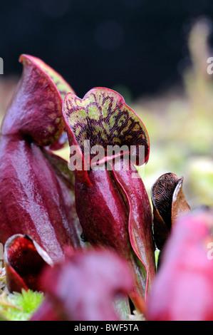 saracenia purpurea subsp purpureus hooded trap purple pitcher plant endangered species side-saddle flower carnivorous - Stock Photo