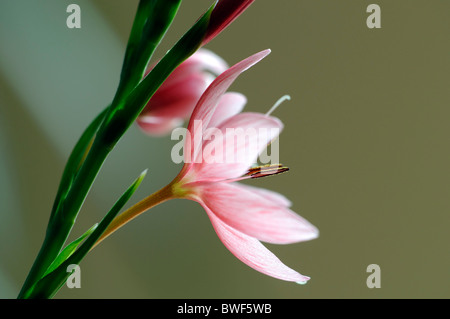schizostylis coccinea salmon charm pink kaffir lily lilies flower flowers bloom blossom garden plant bulbous perennial - Stock Photo