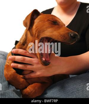 Yawning dog on a woman's lap - Stock Photo