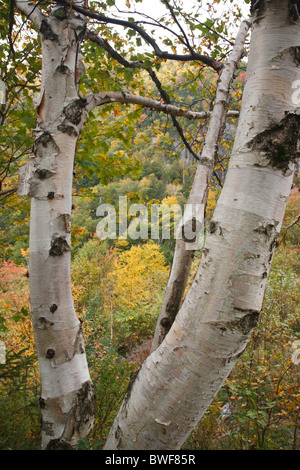 Crawford Notch State Park - Birch tree during the autumn months in the White Mountains, New Hampshire USA. - Stock Photo
