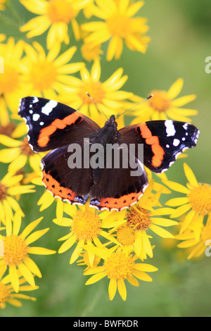 UK Butterfly Red Admiral ( Vanessa atalanta ) on wild flower Ragwort - Stock Photo