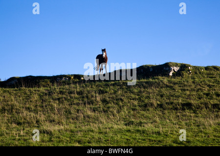 Young inquisitive horse on top of ridge in Northumbria UK - Stock Photo