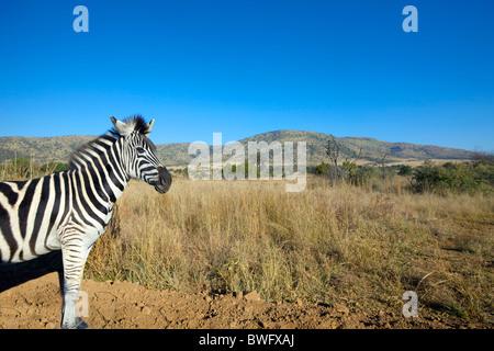 Zebra in open plain, Pilansberg National Park, South Africa - Stock Photo