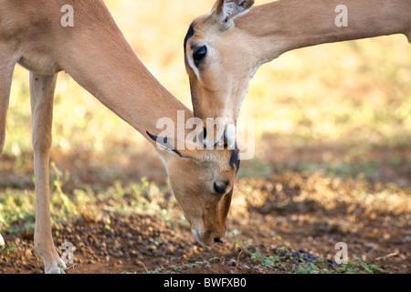 Young impala (Aepyceros melampus) licking ears, Kruger National Park, Mpumalanga Province, South Africa - Stock Photo