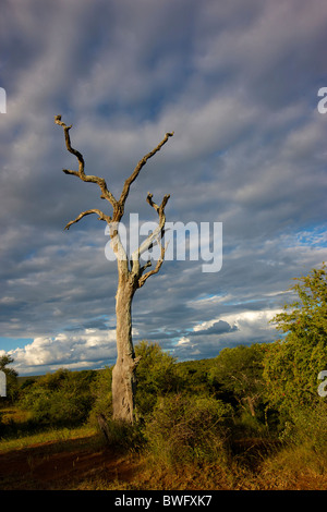 Dead tree in dramatic landscape, Kruger National Park, Mpumalanga Province, South Africa - Stock Photo